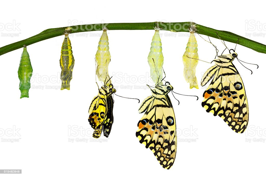 Isolated transformation of Lime Butterfly stock photo