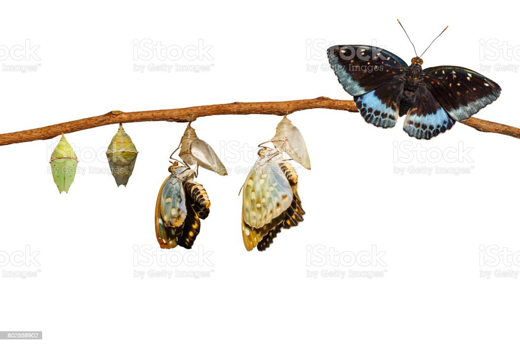 Isolated transformation of Male Common Archduke butterfly emerging from chrysalis stock photo