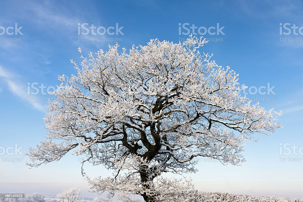 Isolated tree covered in frost during winter, cheshire. royalty-free stock photo