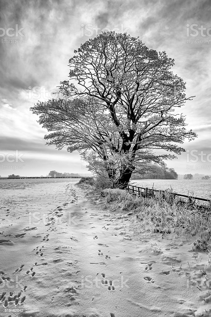 Isolated tree covered in frost during winter, cheshire. stock photo