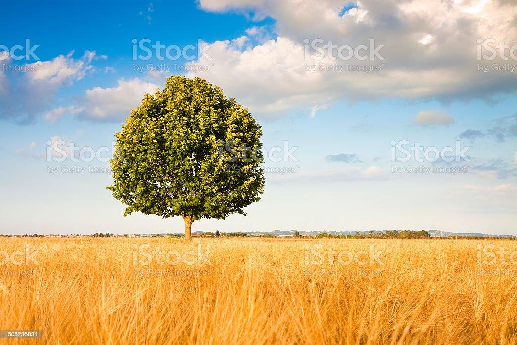 Isolated tree in a tuscany wheatfield stock photo
