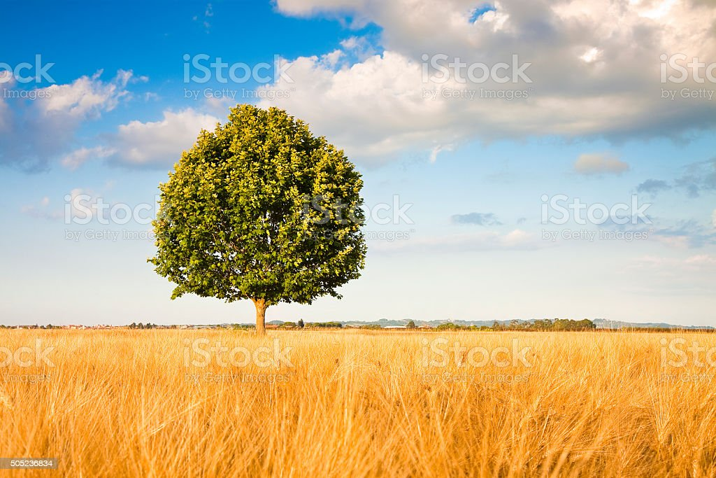 Isolated tree in a tuscany wheatfield stock photo
