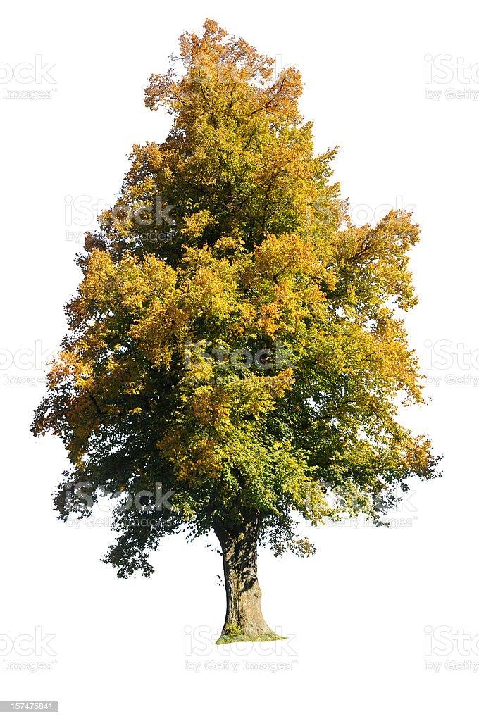 isolated tree in autumn stock photo