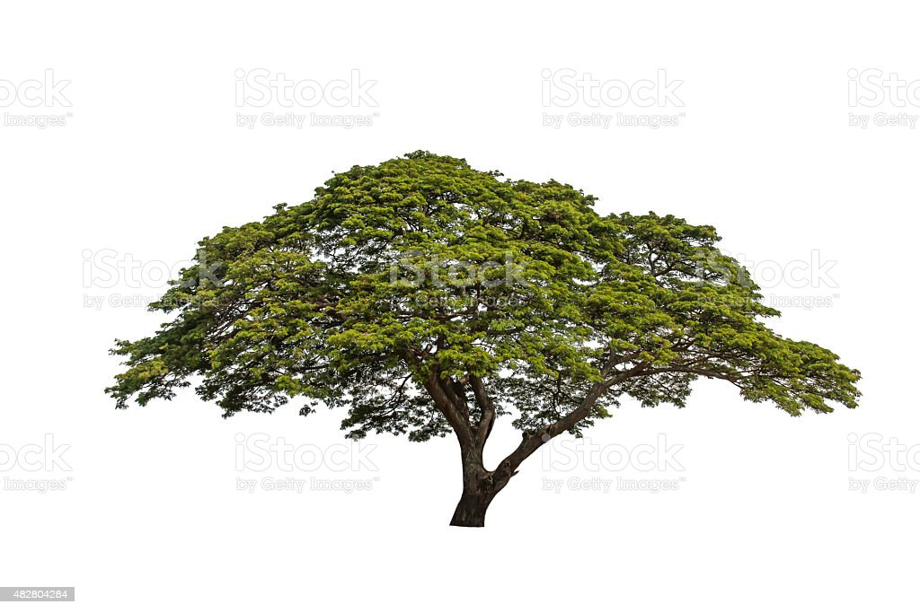 Isolated tree on a white background. stock photo
