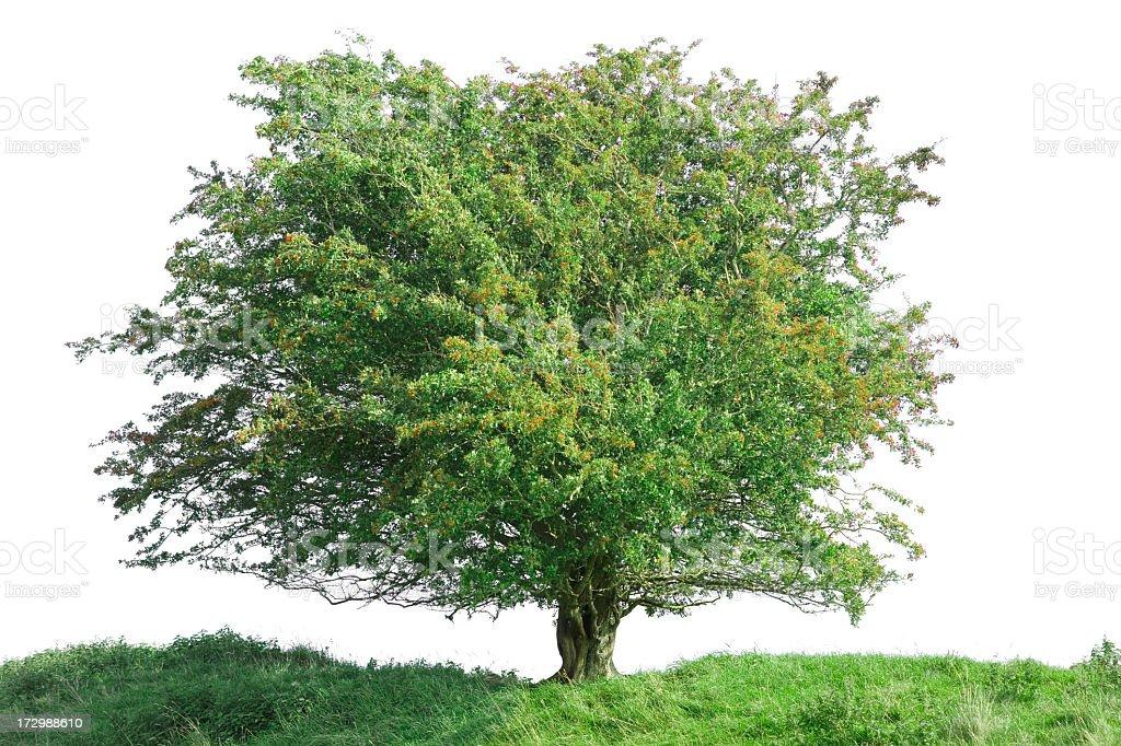 isolated tree (XXL) royalty-free stock photo
