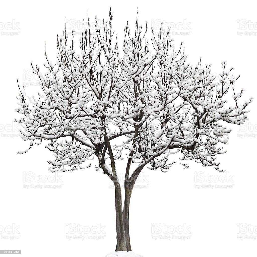 Isolated Tree With Snow, Magnolia Soulangeana stock photo
