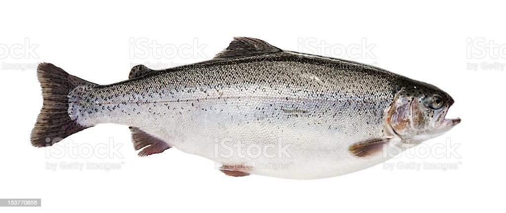 Isolated Trout royalty-free stock photo