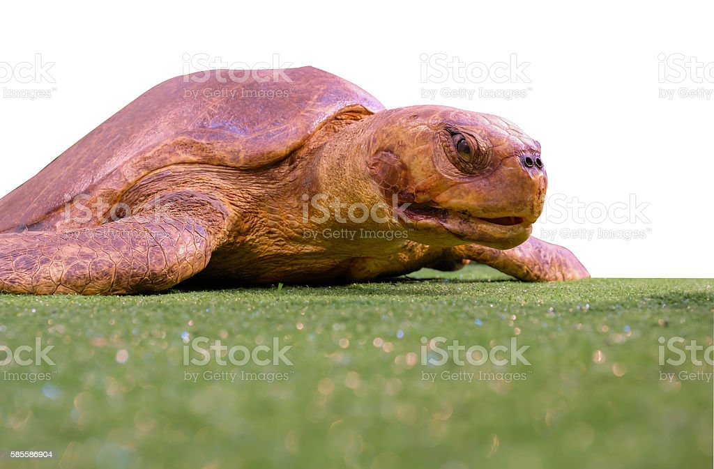 Isolierte turtle Lizenzfreies stock-foto