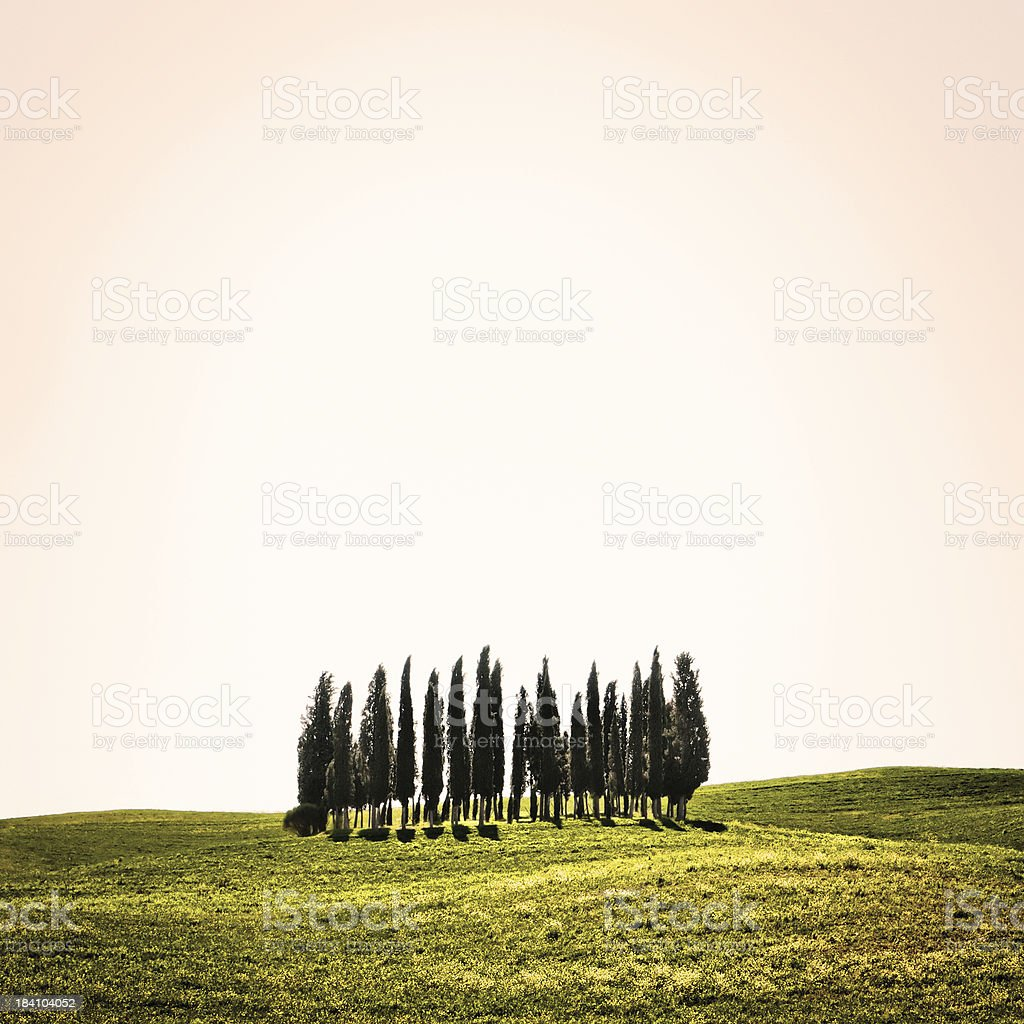 Isolated Tuscan Cypresses, Val d'Orcia in Italy stock photo