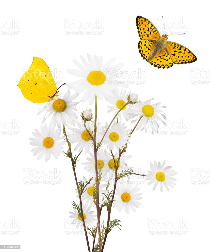isolated two butterflies and bunch of fine chamomile flowers stock photo