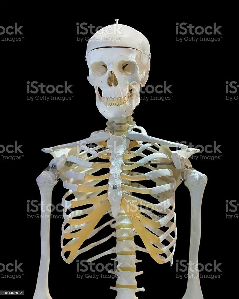 Isolated upper half of human skeleton on white stock photo