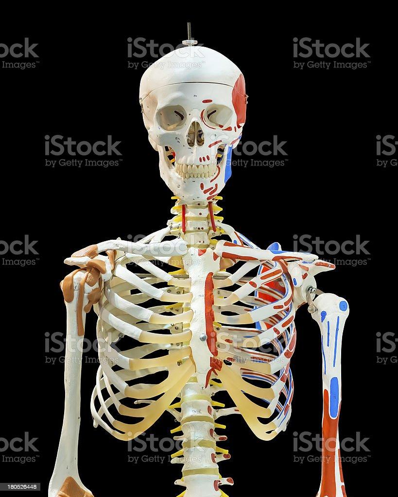 Isolated upper half of human skeleton stock photo