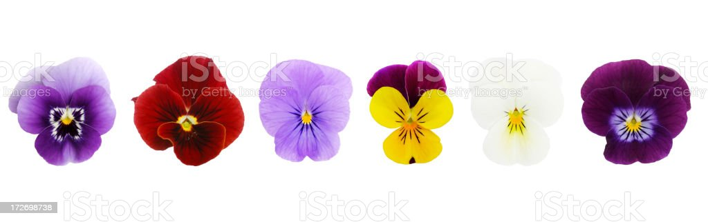 Isolated Viola/Pansies (XL) stock photo