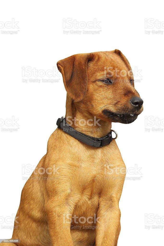 isolated viszla puppy stock photo