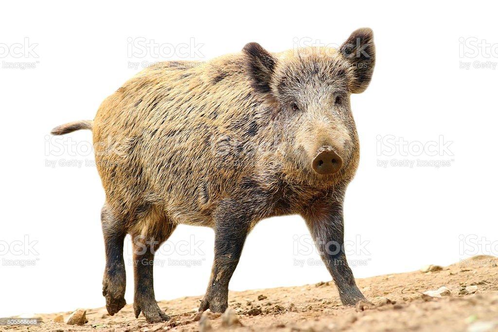 isolated walking wild boar stock photo