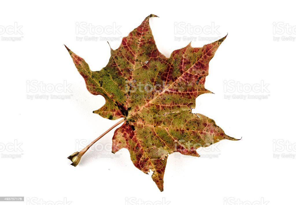 Isolated weathered maple leaf in autumn stock photo