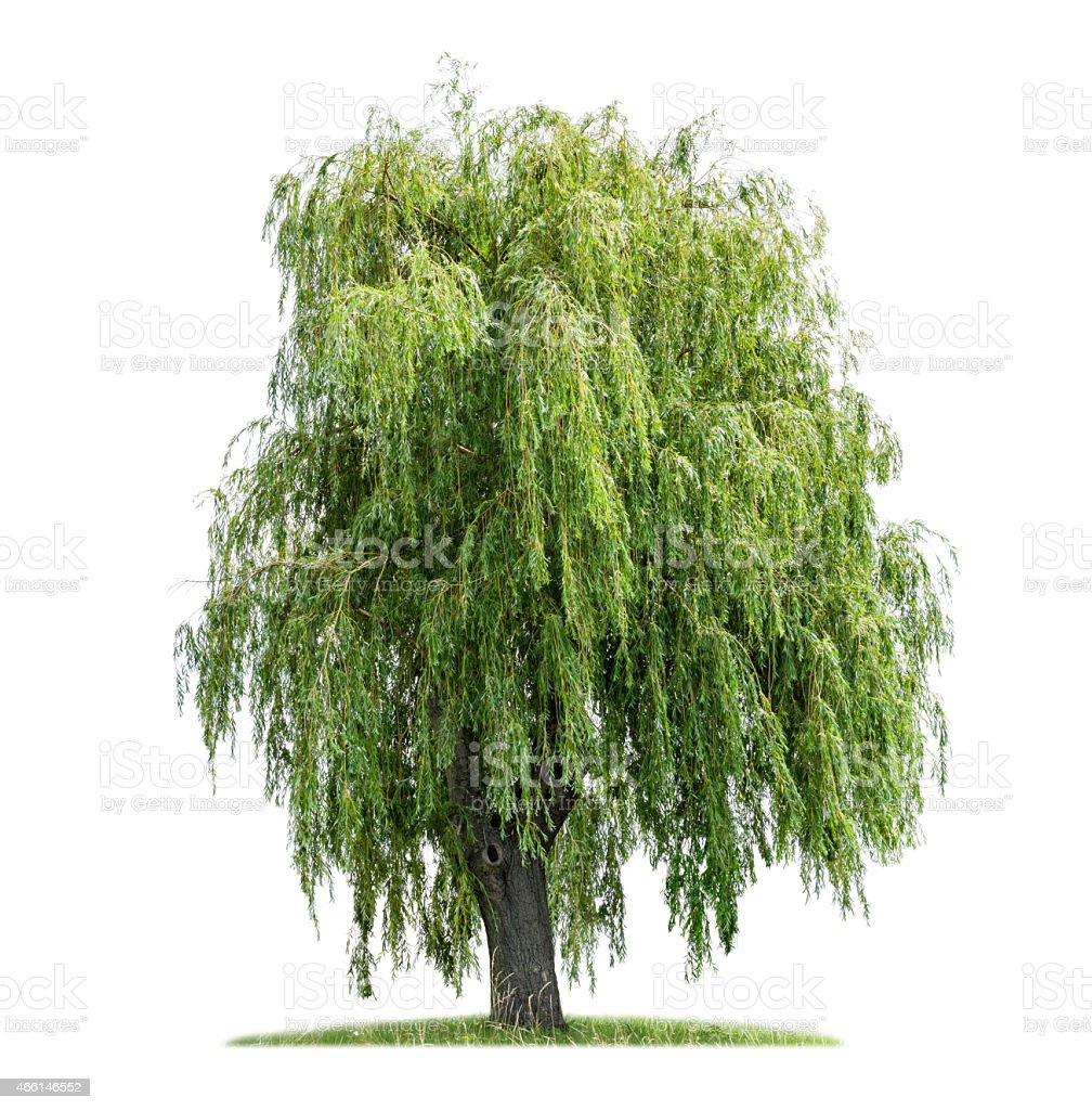 isolated weeping willow on a white background stock photo