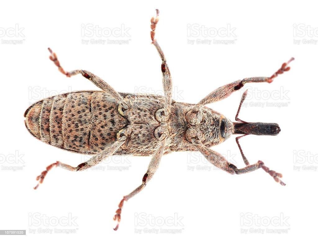 Isolated Weevil (XXXL) stock photo