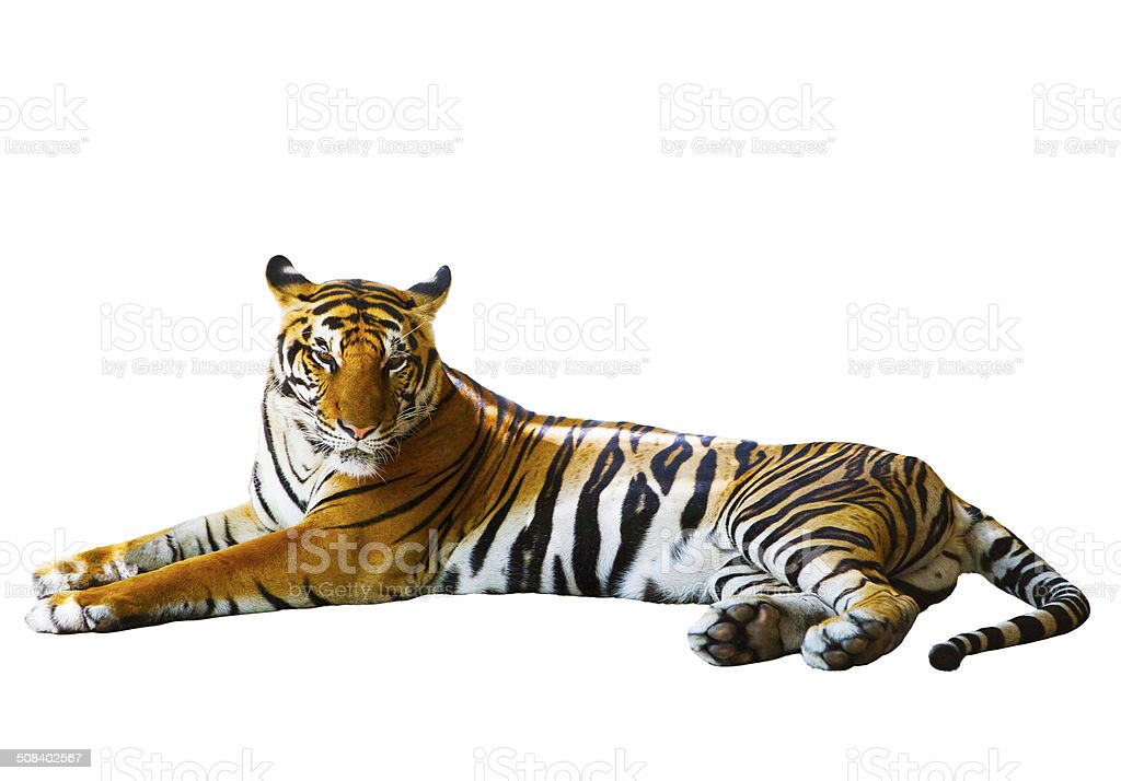 isolated white background of indochinese tiger face lying with relax face stock photo
