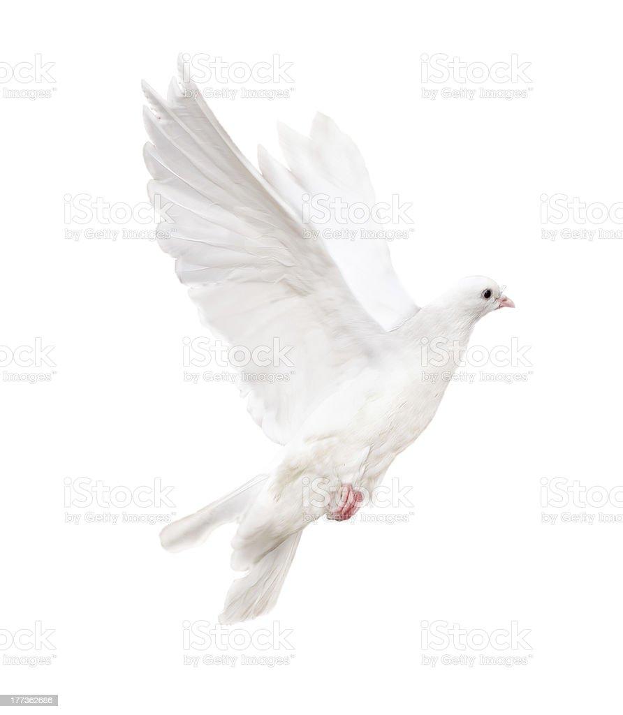 isolated white dove stock photo