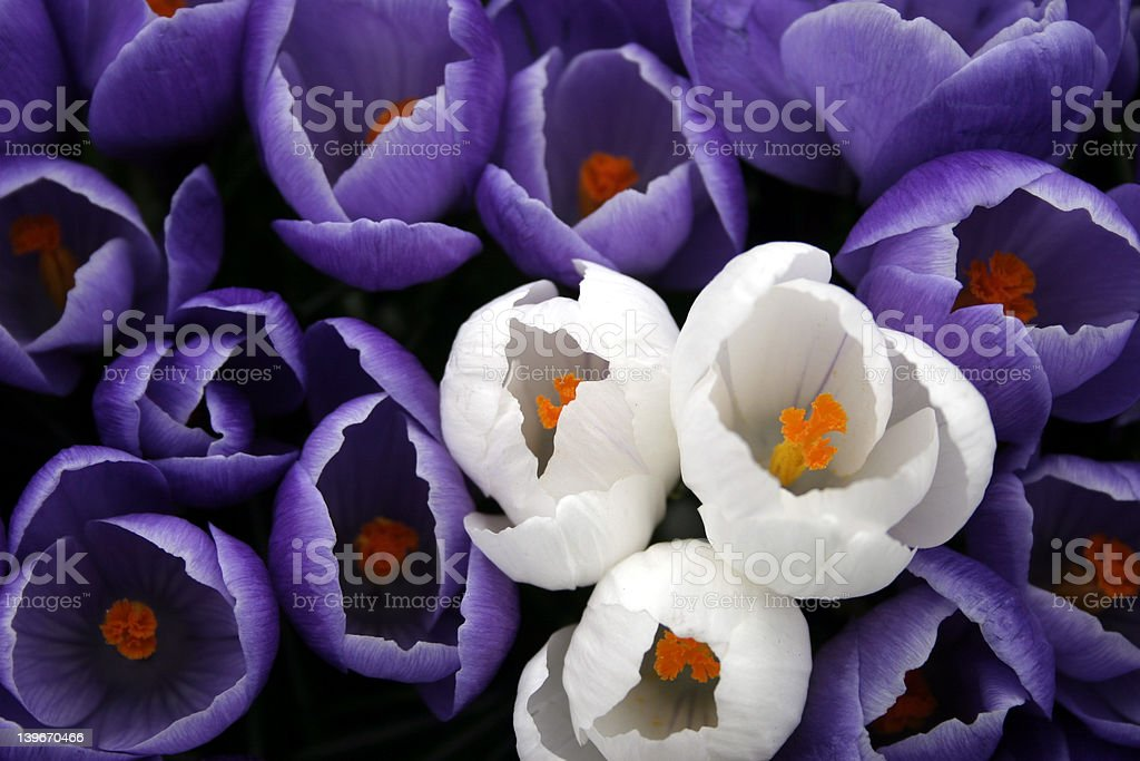 isolated white flowers royalty-free stock photo