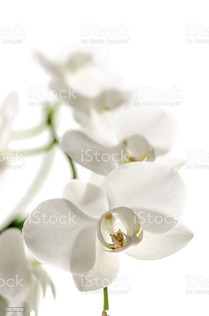 Isolated white orchid flower royalty-free stock photo