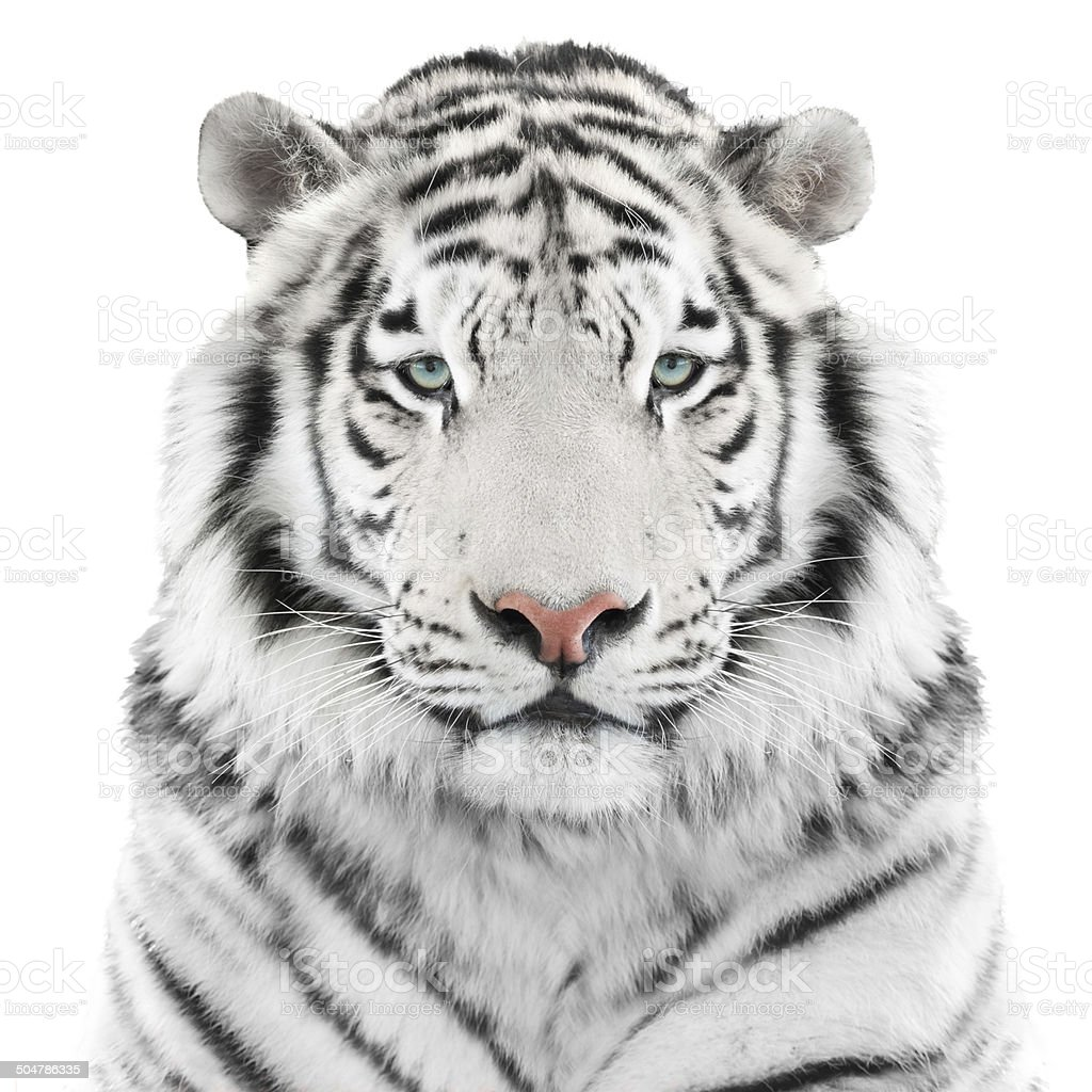 Isolated white tiger stock photo