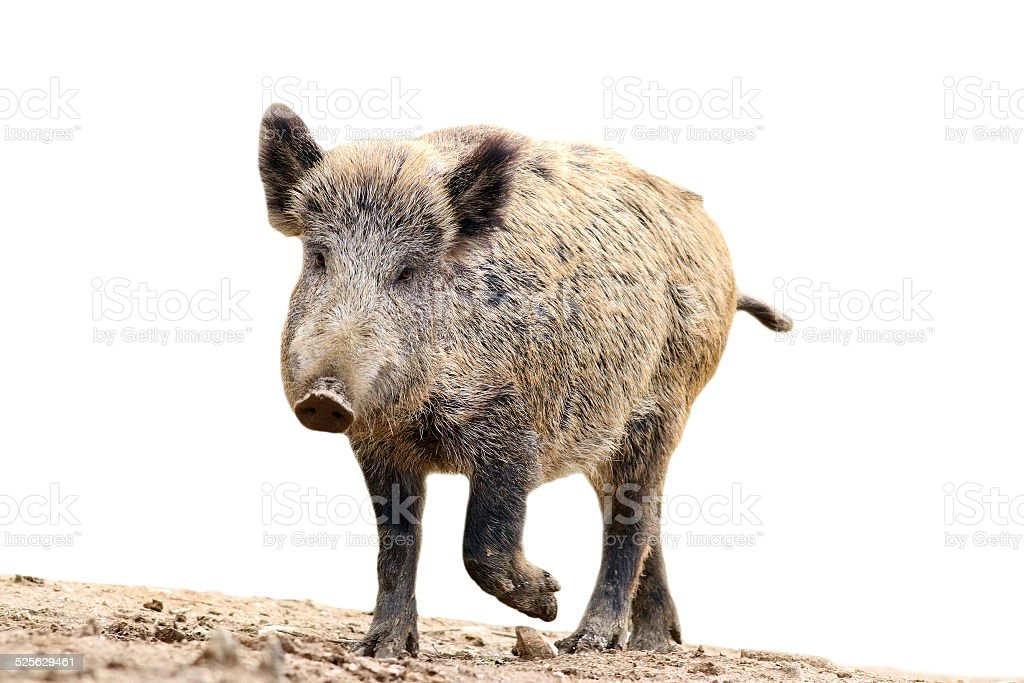 isolated wild boar stock photo