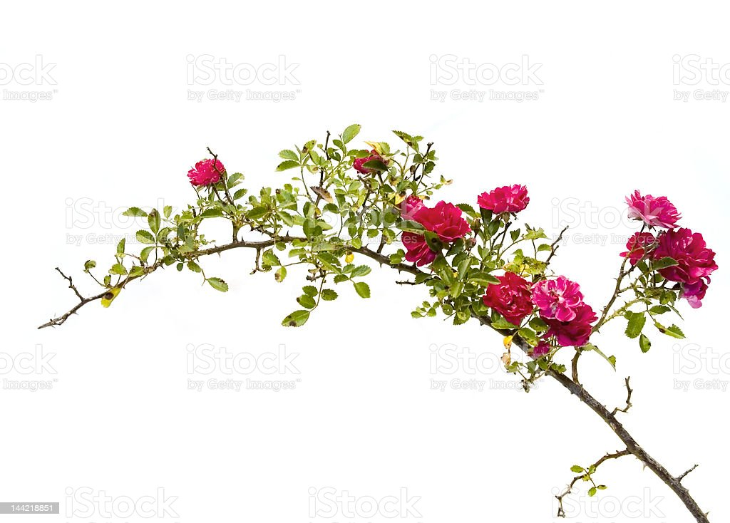 Isolated wild rose branch stock photo