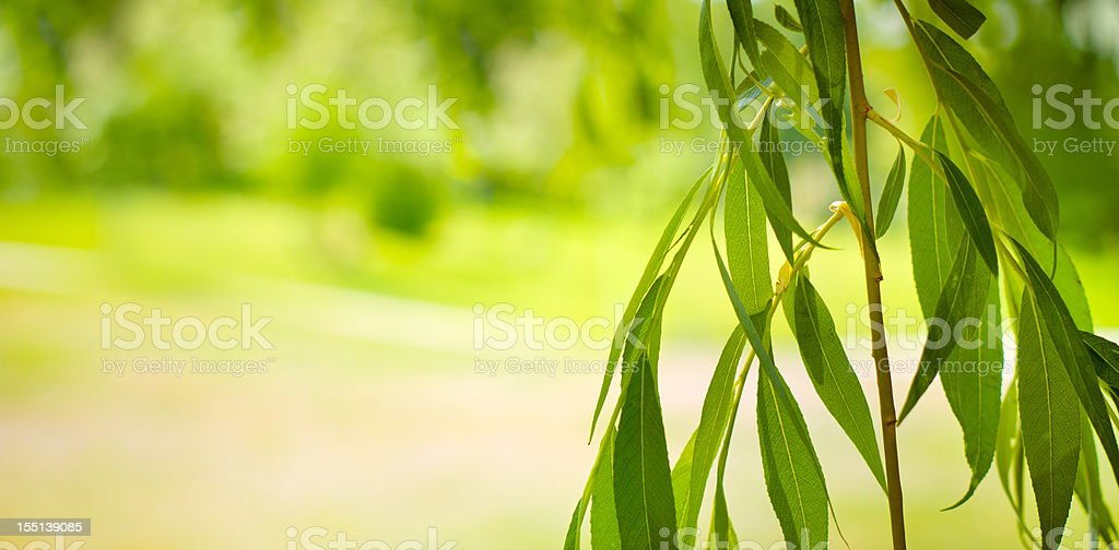 Isolated willow branches on defocused background stock photo