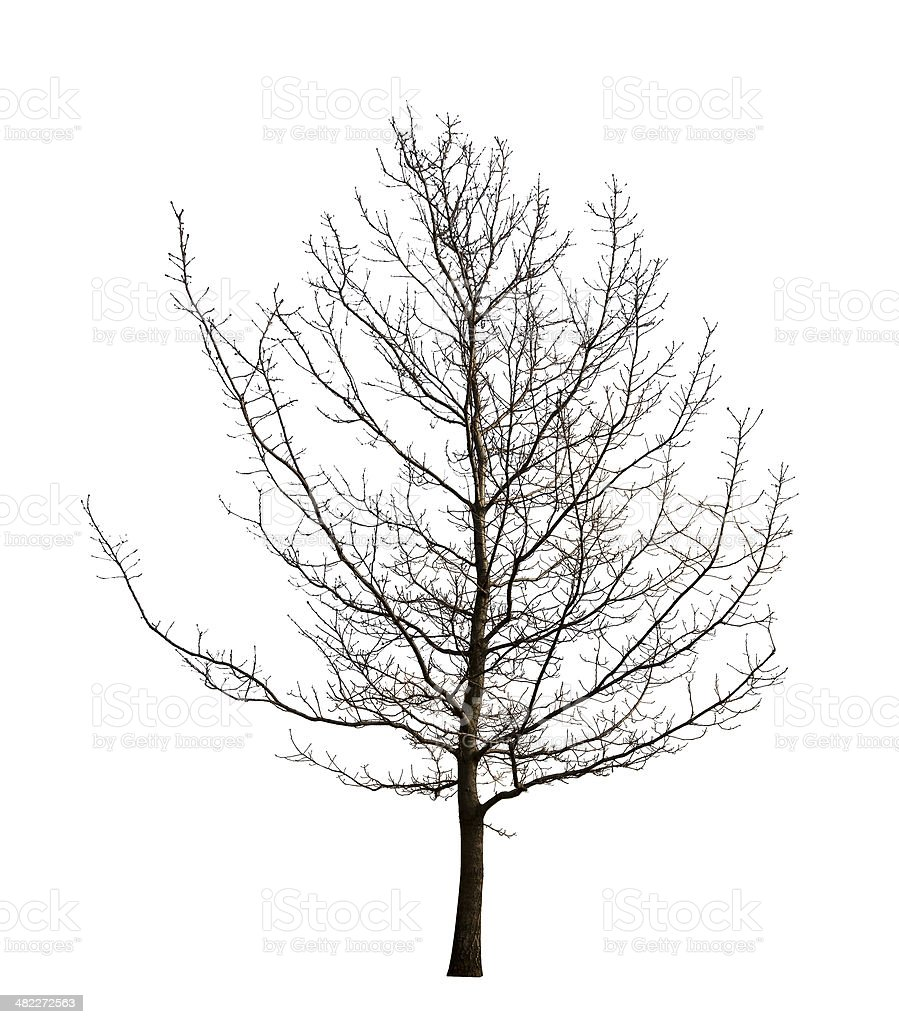 isolated winter bare tree stock photo