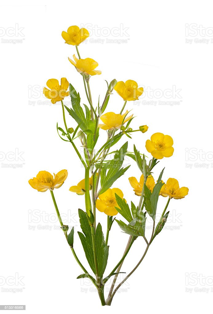 isolated yellow bunch of buttercup flowers stock photo