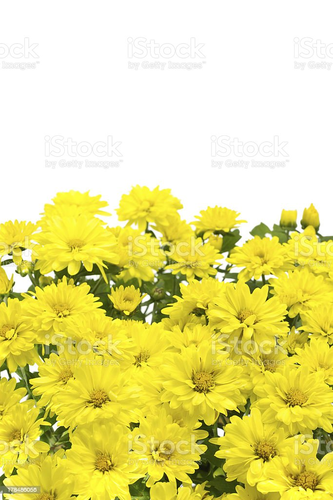 Isolated yellow flowers royalty-free stock photo