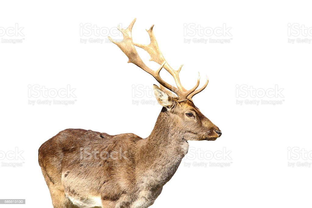 isolated young fallow deer male stock photo