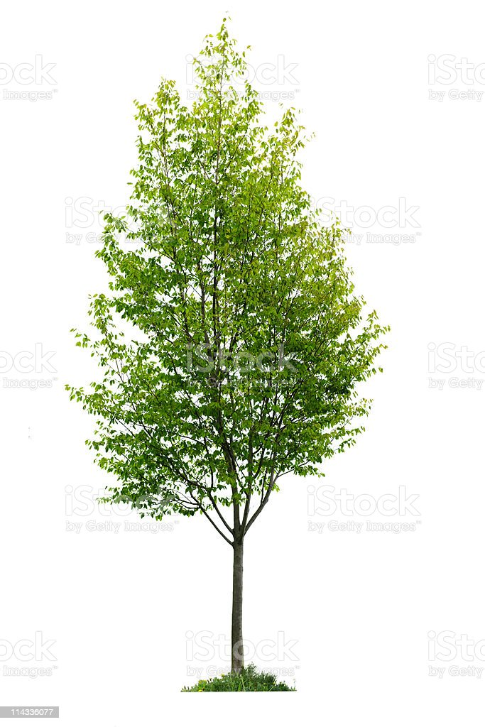 Isolated young tree stock photo