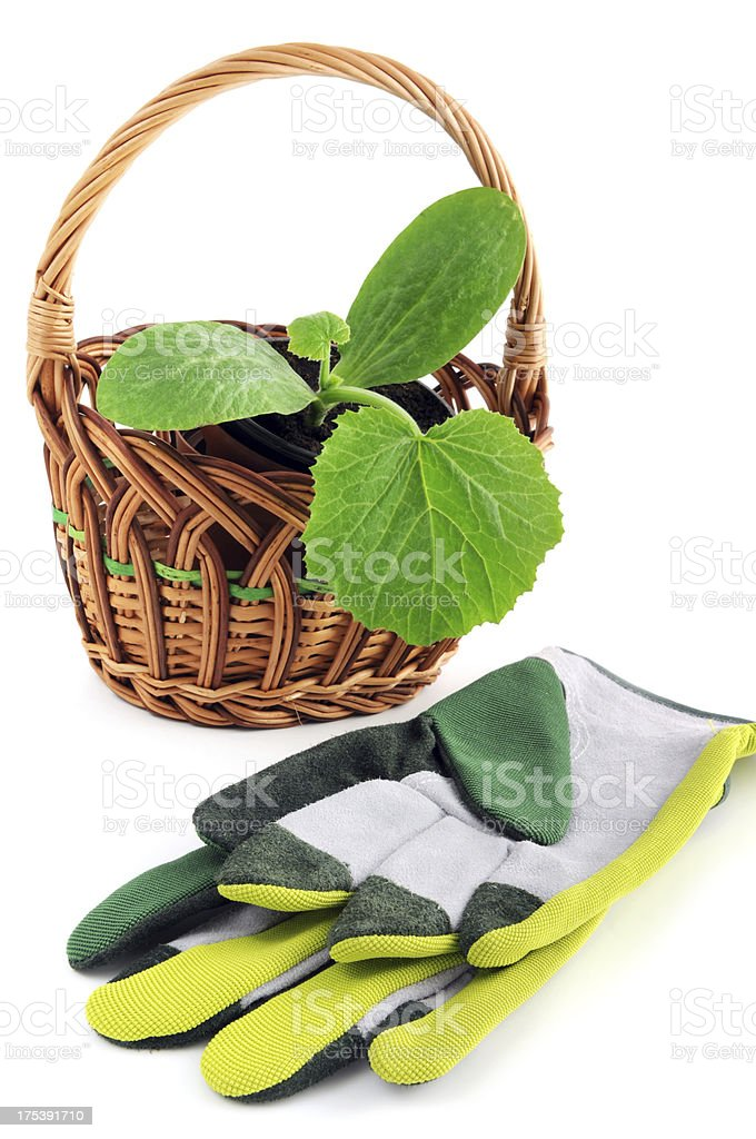 isolated zucchini seedling in basket with gardening gloves royalty-free stock photo