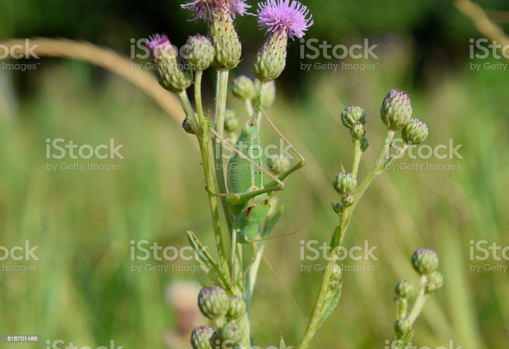 Isophya on the stems of the tubercle. Wingless grasshopper Isoph stock photo