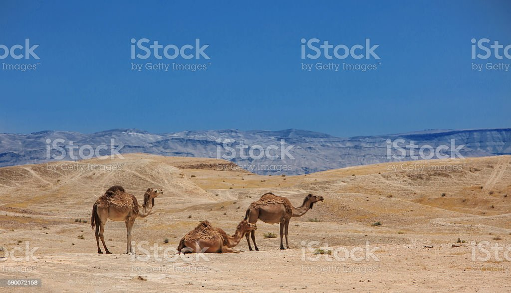 Israel, Negev Desert, A herd of Arabian camels stock photo