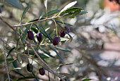 Israel Olive Branch