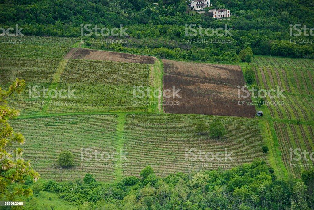 Istrian vineyard, Croatia stock photo