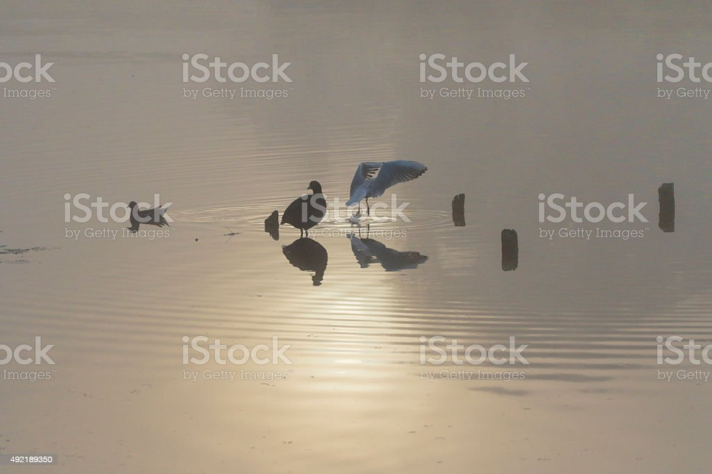Misty sun reflected in water coot moorhen laughing gull stock photo