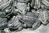 It is rare natural phenomenon - accumulation of frogs near