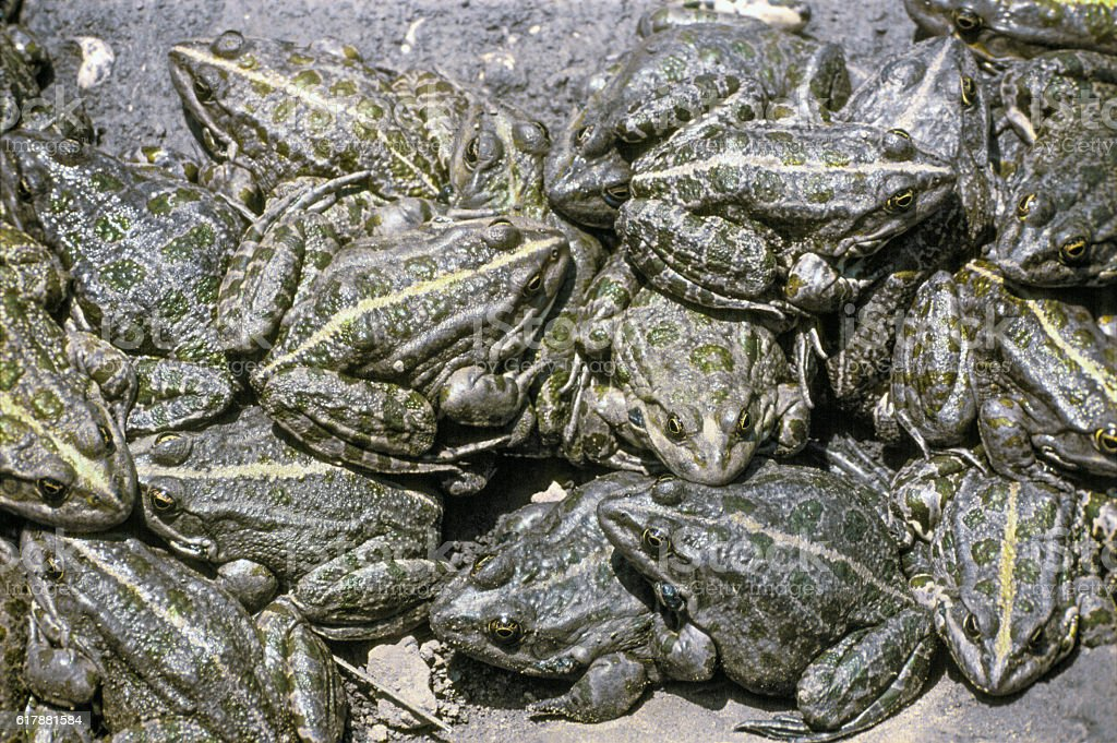 It is rare natural phenomenon - accumulation of frogs near stock photo