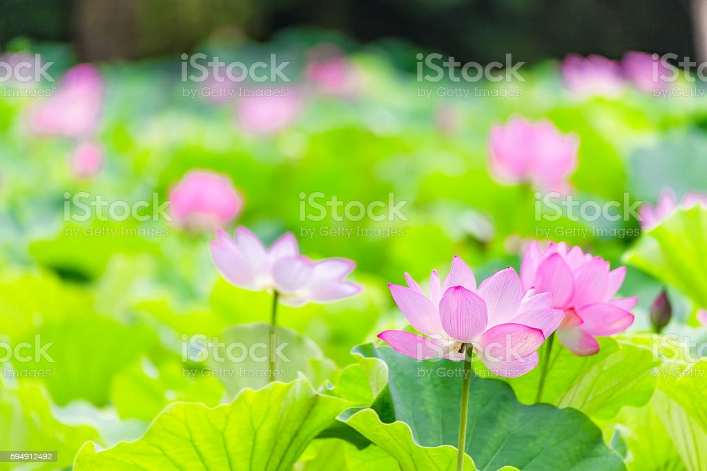 It is the lotus flower. stock photo