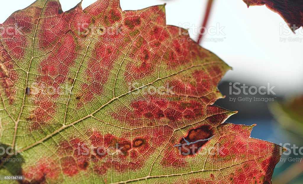 Vine leaf with leafroll virus disease stock photo
