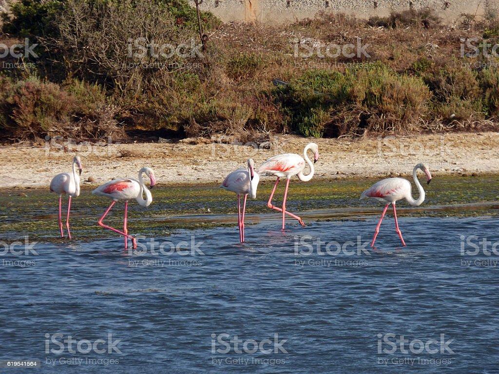 Italia, Sardegna, lo stagno di porto Pino, fenicotteri stock photo