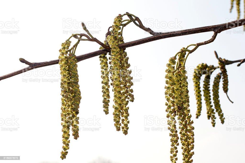 Italian alder tree Alnus cordata male catkins aments stock photo
