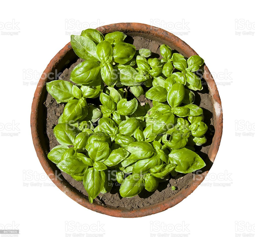 Italian Basil Plant Isolated on White (Clipping path included) royalty-free stock photo