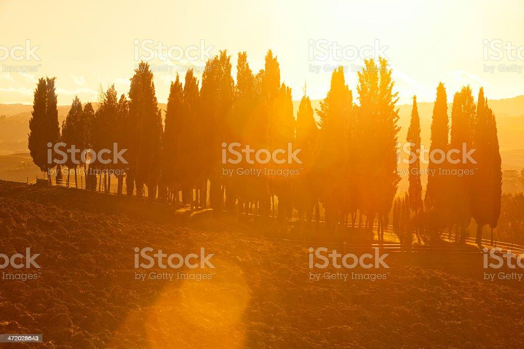 Italian Cypress Trees Against Sunlight With Lens Flares, Tuscany royalty-free stock photo