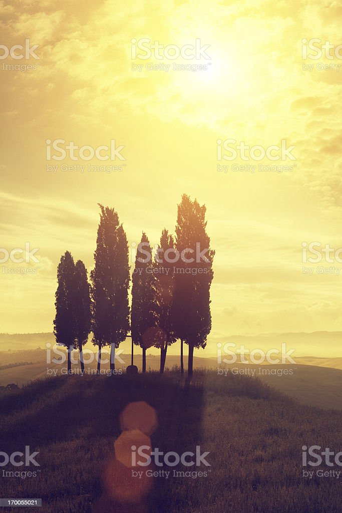 italian cypresses in the sunrise royalty-free stock photo